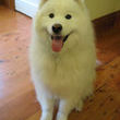 I couldnt resist putting up this pic of one of my Samoyeds, Skylos. He loves it when the pet sitter comes, she spoils him rotten!